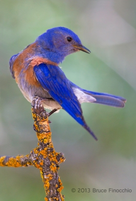 Male Western Bluebird Lifts Tail and Drops Wing Preparing To Preen