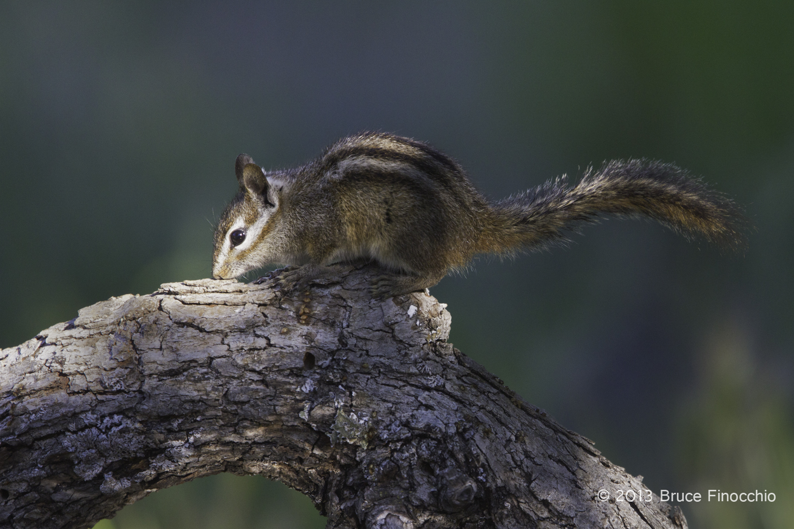 Merriam's Chipmunk Kisses Oak Branch
