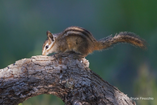 Merriam's Chipmunk Kisses Oak Branch