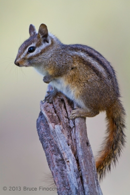Merriam's Chipmunk Perched On A Dead Branch