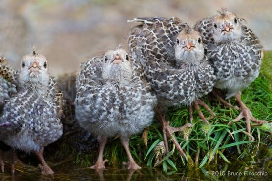 California Quail Chicks Gather Around Water