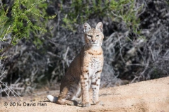 Ramrod Ranch Young Bobcat