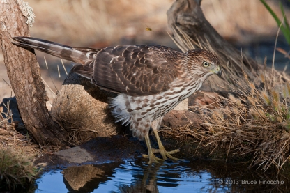 Female Cooper's Hawk Comes To Pond To Drink Avoiding Flying Yellow Jackets