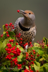 Female Flicker With Toyon Berry In Beak