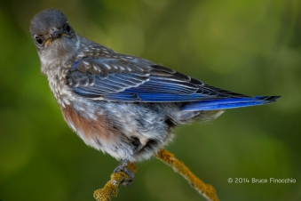 Inquiring Look From A Young Male Western Bluebird