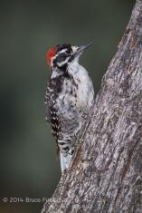 Male Nuttall's Woodpeck On A Blue Oak Tree Trunk