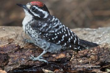 Male Nuttall's Woodpecker Drinks From The Bark Of A Fallen Log