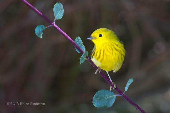 Male Yellow Warbler On White Honeysuckle Branch