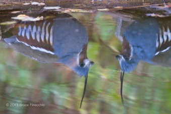 Mountain Quail Reflections