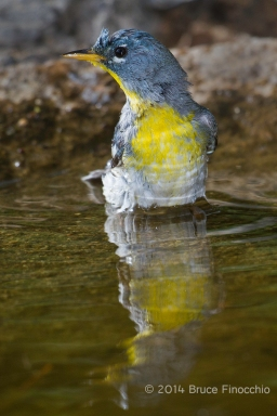 Northern Parula Takes A Bath