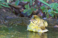Orange-crowned Warbler Calls Out As He Bathes