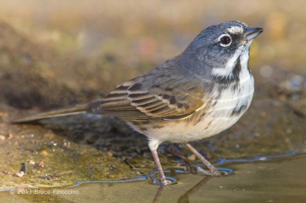 Sage Sparrow At Water's Edge
