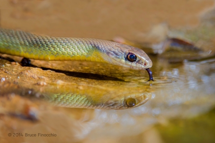 Western Yellow-bellied Racer Drinks From A Small Pool