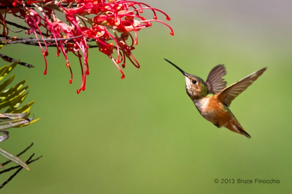 Female Allen's Hummingbird Approaches Superb Grevillea Blossoms
