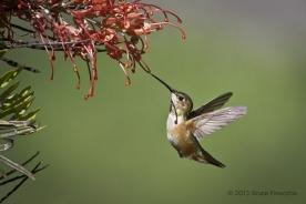 Grevillea Shadows Throat Of Approaching Female Allen's Hummingbird