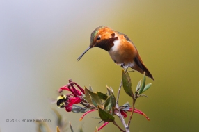 Male Allen's Hummingbird Checks Out Bumble Bee As It Pollinates