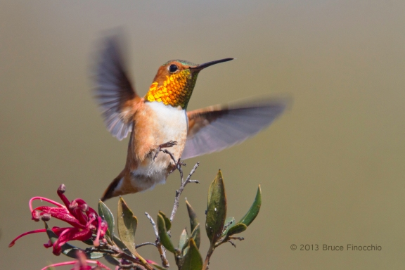 Male Allen's Hummingbird Landing on A Ruby Cluster Grevillea Branch