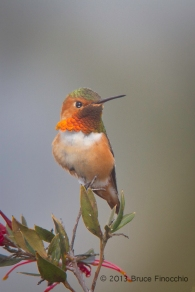 Male Allen's Hummingbird Portrait