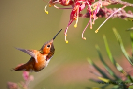 Male Allen's Hummingbird Searching For Nectar