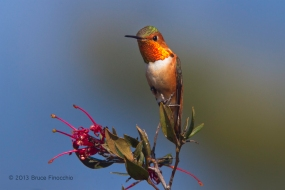 Male Allen's Hummingbird Shows Flashy Gorget