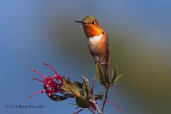 Male Allen's Hummingbird Shows Flashy Gorget