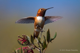 Male Allen's Hummingbird Spreads Wings While On A Ruby Clustered Grevillea Bush