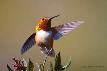 Male Allen's Hummingbird Spreads Wings