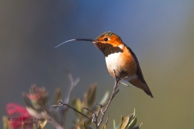 Male Allen's Hummingbird Sticks His Tongue Out