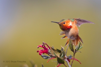 Male Allen's Hummingbird Stretches Wings and Tail Feathers