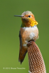Portrait Of A Male Allen's Hummingbird on Bansia Cone