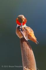 Ring of Fire Glows, As Male Allen's Hummingbird Preens