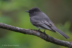 An Aware Male Black Phoebe Completely Focused