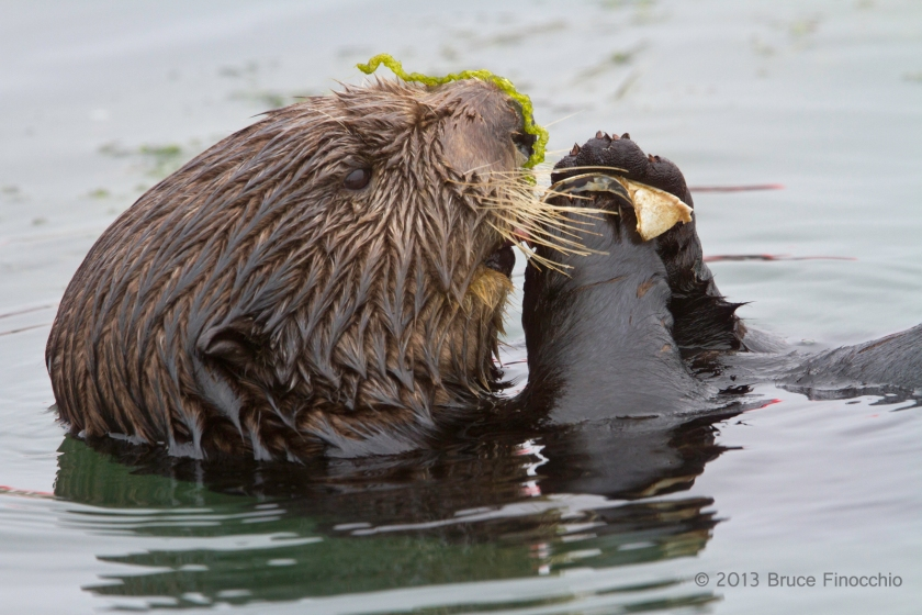 Sea Otter With Eel Grass Rapped Around Her Nose