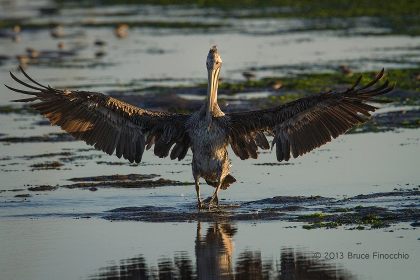 Wings Spread As A Young Brown Pelican Walks In The Wetlands