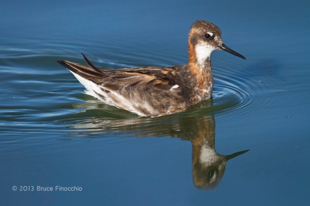 Male Red-necked Phalarope and His Reflection