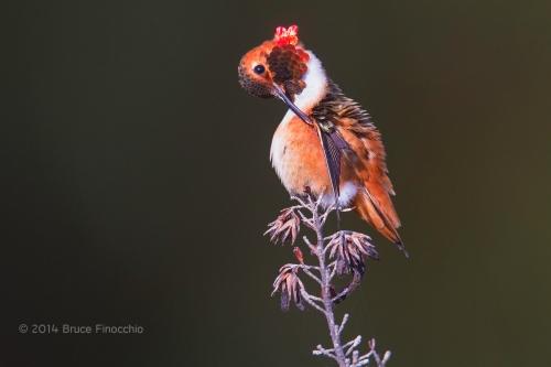 Male Allen's Hummingbird Preens Under Wing