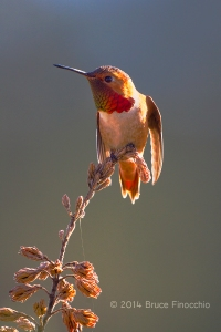 Male Allen's Hummingbird Ready For Flight