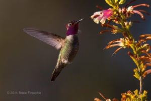 Male Anna's Hummingbird Hovers Near Nectar