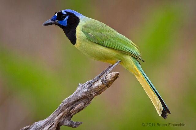 A Posed Green Jay