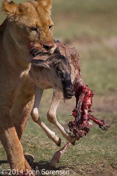African Lion Feeding