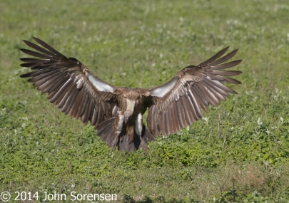 African White Backed Vulture