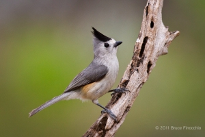 Black-crested Titmouse Poses