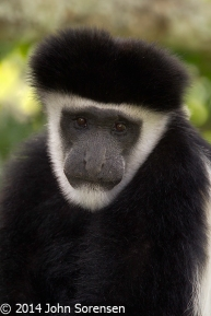 Black White Colobus Monkey