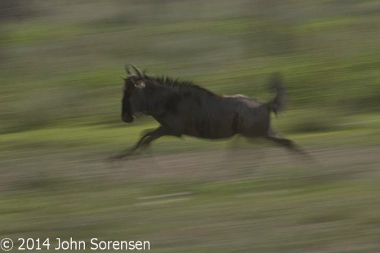 Blue Wildebeest On The Move