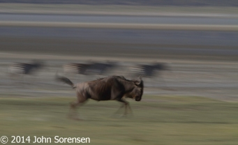 Blue Wildebeest In Motion