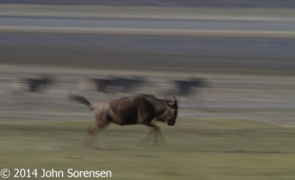 Blue Wildebeest In Motion