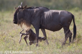 Blue Wildebeest With Newborn