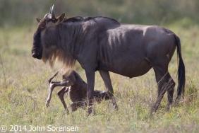 Blue Wildebeest With Newborn