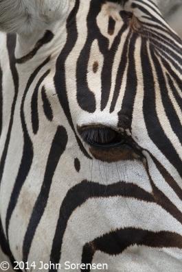 Burchell Zebra Portrait