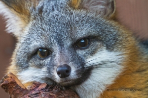 Face Of A Gray Fox